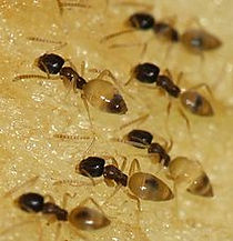 Ghost ants, Pest Control, Pest Control Company, Pest Control Daytona Beach, Pest Control Ormond Beach, Pest Control Company Daytona Beach, Pest Control Company Ormond Beach