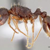 How To Identify Pavement Ants
