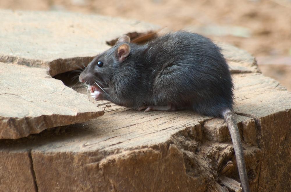 Rodent / Rat