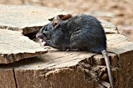Rats New Smyrna Beach, Pest Control, Pest Control Company, Pest Control Daytona Beach, Pest Control Ormond Beach, Pest Control Company Daytona Beach, Pest Control Company Ormond Beach