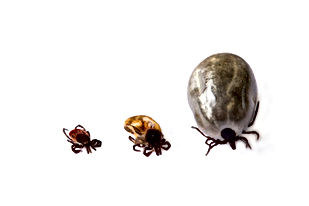 ticks in varying foms, Pest Control, Pest Control Company, Pest Control Daytona Beach, Pest Control Ormond Beach, Pest Control Company Daytona Beach, Pest Control Company Ormond Beach