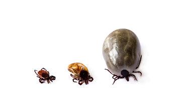 ticks in varying foms, Pest Control, Pest Control Company, Pest Control Daytona Beach, Pest Control Ormond Beach, Pest Control Company Daytona Beach, Pest Control Company Ormond Beach