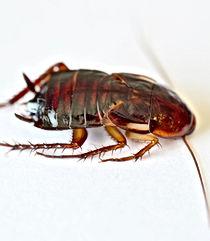 Florida woods cockroach (Eurycotis floridana), Pest Control, Pest Control Company, Pest Control Daytona Beach, Pest Control Ormond Beach, Pest Control Company Daytona Beach, Pest Control Company Ormond Beach