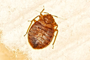 Adult Bed Bugs close up, Pest Control, Pest Control Company, Pest Control Daytona Beach, Pest Control Ormond Beach, Pest Control Company Daytona Beach, Pest Control Company Ormond Beach
