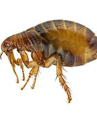 Adult Flea Closeup, Pest Control, Pest Control Company, Pest Control Daytona Beach, Pest Control Ormond Beach, Pest Control Company Daytona Beach, Pest Control Company Ormond Beach