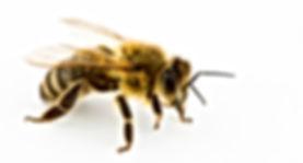 Bumblebees, wasps and honey bees