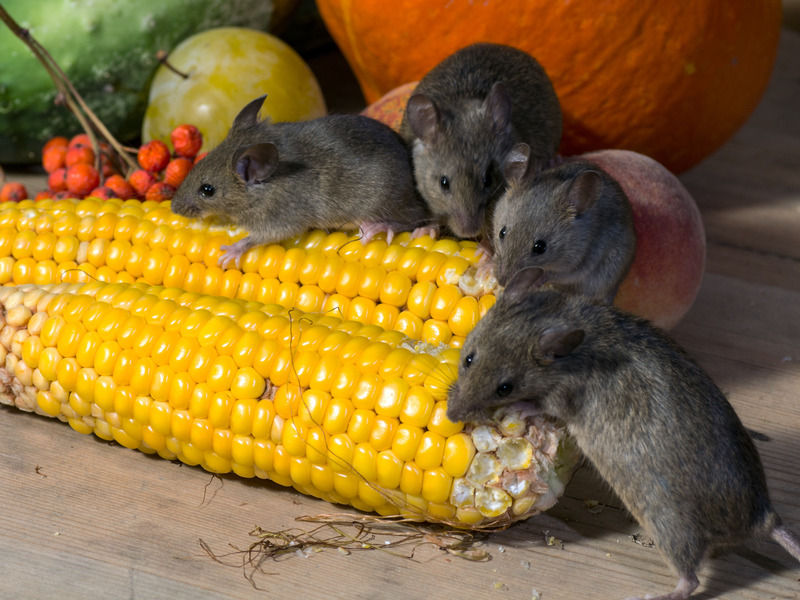 5 Major Health Impacts of Rodent Infestation