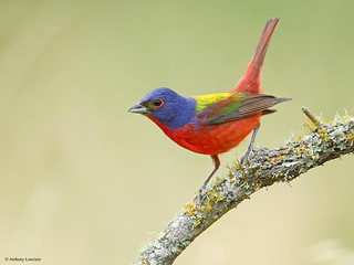 Anthony Louviere - PAINTED BUNTING.jpg