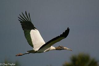 CLAY TAYLOR-Wood Stork.jpg