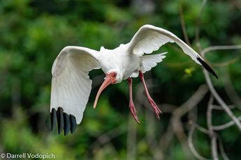DARRELL VODOPICH - White Ibis.jpg