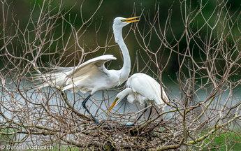 DARRELL VODOPICH - Great Egret.jpg