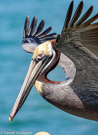 DARRELL VODOPICH - Brown Pelican.jpg