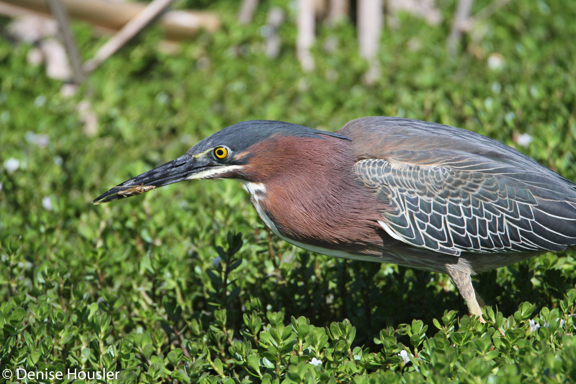 DENISE HOUSLER - Green Heron.jpg