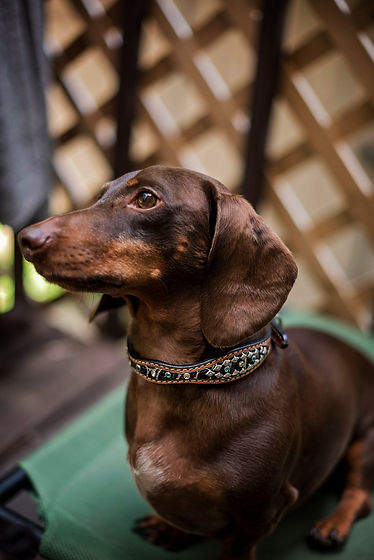 MadCow Collars 7 2017-Kimber 6 Months-0022.jpg