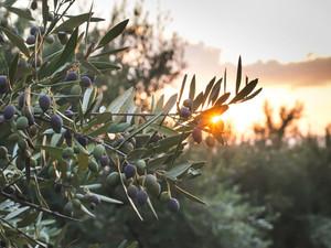 L'olivo e i suoi benefici: lo sapevate che….?