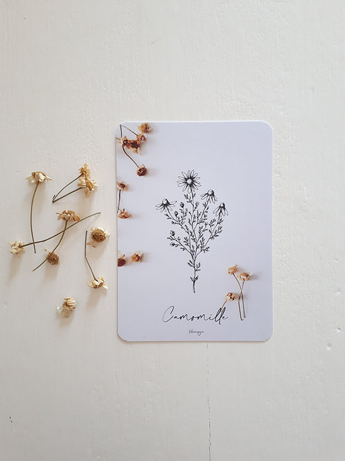 293 fleurs de camomille