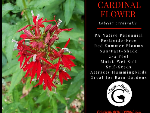 CARDINAL FLOWER Lobelia cardinalis