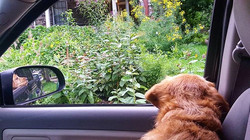Cleveland The Dog looking at the garden on our way to adventures.