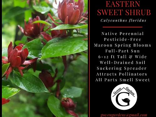Eastern Sweet Shrub Calycanthus floridus