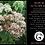 Thumbnail: SEDUM 'AUTUMN JOY' Hylotelephium 'Herbstsfreude'