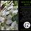Thumbnail: MOUNTAIN MINT Pycnanthemum muticum