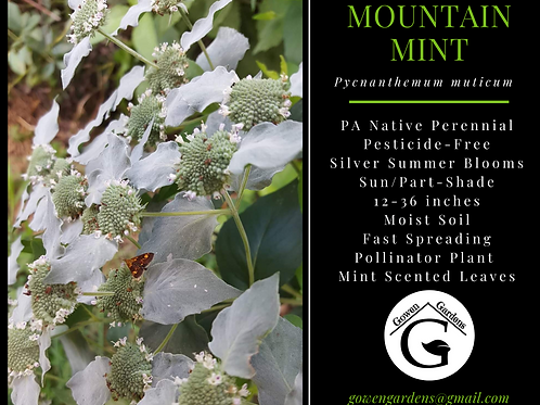 MOUNTAIN MINT Pycnanthemum muticum