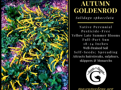 Autumn Goldenrod Solidago sphacelata