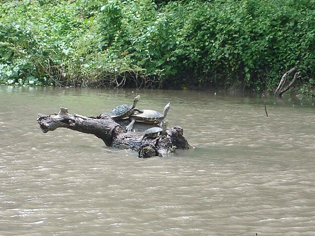 Turtles in Istian river
