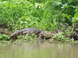 caiman on ometepe