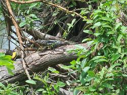 Spine iguana
