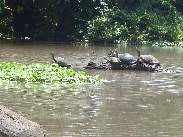 Turtle family Ometepe