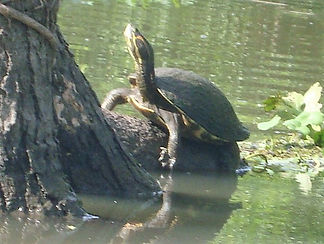 Turtle Itsian river