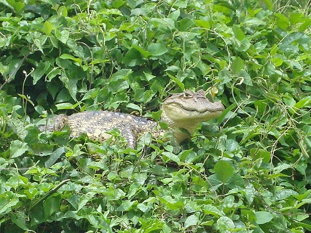 Caiman on the vines