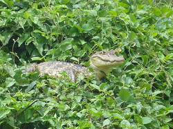 Caiman in the swamp