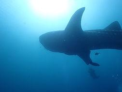 ジンベエザメの写真