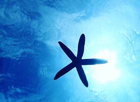 水納島アオヒトデの写真