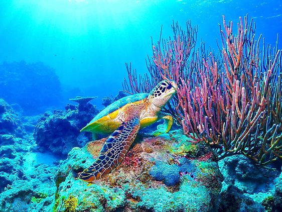 水納島アオウミガメの写真