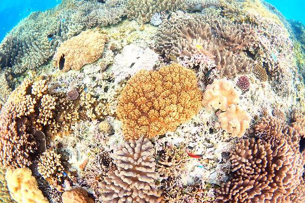 ゴリラチョップサンゴ