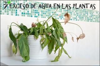 ¿Cómo saber si nuestras plantas están con exceso de agua?