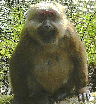 485px-Macaca_leucogenys_female.jpg