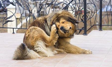 Para ser perro ¿hay que tener pulgas?