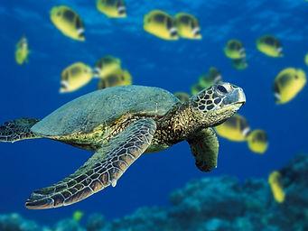 ZZZZ919 Green Sea Turtle.jpg