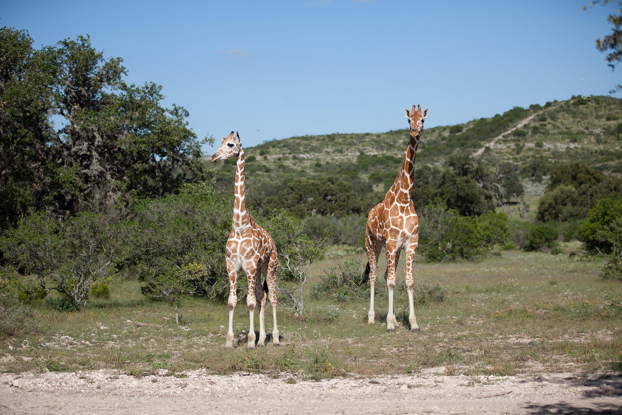 Hunt giraff