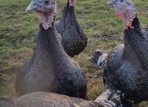 Annfield Farm Turkeys