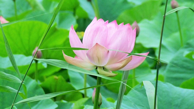 цветут лотосы только в августе