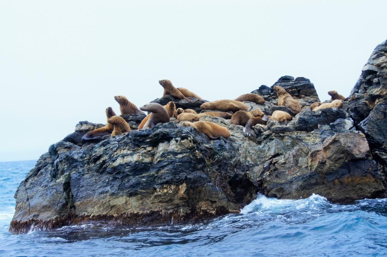 Сивучи-ушастые тюлени