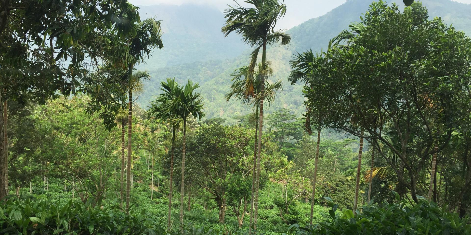 Tea leaves and coconut trees