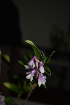 Den cuthbertsonii bicolor
