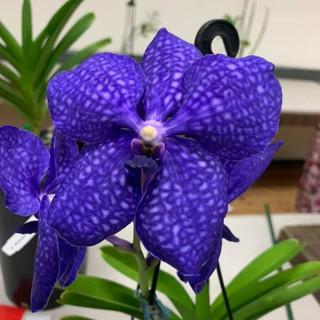 V. Pachara Delight 'Blue'