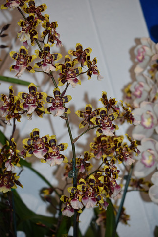 Best Other Orchid- Onc Wildcat 'Teddy Bear'